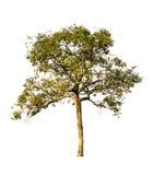 树被隔绝反对白色背景 免版税库存图片