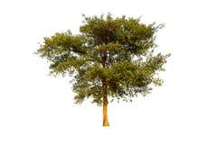 树被隔绝反对白色背景 库存图片