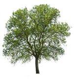 树被隔绝在白色 库存图片