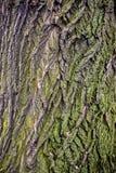 树褐色与绿色青苔的吠声纹理 免版税库存照片