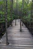 树通过木道路增长在美洲红树森林里 库存图片