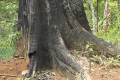 树铁木树在婆罗洲的森林里烧了 免版税库存照片