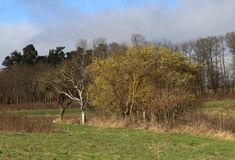 树长满与在草甸的黄色地衣在温和的冬天季节德国, Middlerhine地区期间 免版税库存图片