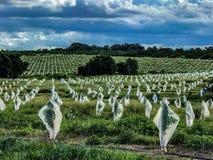 树防御者被应用于佛罗里达柑橘树丛 库存照片