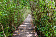 树隧道,木桥在美洲红树森林里 库存图片