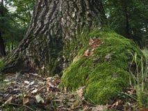 树青苔 图库摄影