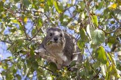 树非洲蹄兔 库存图片