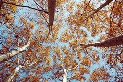 树顶视图从下面反对在秋天季节的蓝天 库存图片