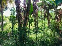 树香蕉  免版税图库摄影