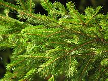 树,冷杉,绿色钉,夏天,季节,分支,云杉的爪子,宏指令 库存图片