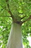 树,棉花球,弹跳球,泰国,力量,自然,绿色,森林,树,树,叶子,绿叶, 免版税图库摄影