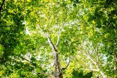 树从下面 免版税库存照片