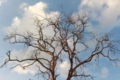 树黄檀属cochinchinensis在天空死 免版税图库摄影