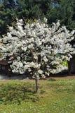 树&白花 库存照片