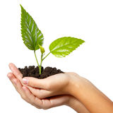 树绿色新鲜在女性手上 免版税库存图片