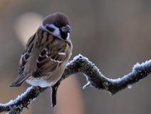 树麻雀在冬天 免版税图库摄影