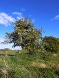 树&领域篱芭Nr Crookham,北部诺森伯兰角,英国 库存照片