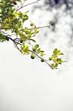 椴树 免版税图库摄影