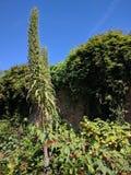 树echium或者echium pininana花钉 免版税图库摄影