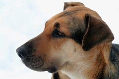 栓住的狗德国混杂的牧羊人 库存图片