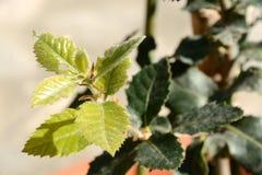 年轻栓皮栎叶子 免版税库存图片