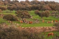 栓皮栎和母牛在埃斯特雷马杜拉 免版税库存图片