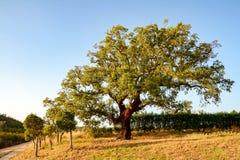 栓皮栎树在晚上太阳,阿连特茹葡萄牙的栎属软木 免版税库存图片