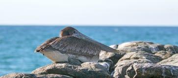 栖于在岩石的加利福尼亚布朗鹈鹕在蓬塔罗伯斯在下加利福尼亚州墨西哥 免版税库存照片