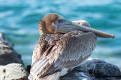 栖于在岩石的加利福尼亚布朗鹈鹕在蓬塔罗伯斯在下加利福尼亚州墨西哥 库存图片