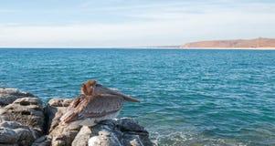 栖于在岩石的加利福尼亚布朗鹈鹕在蓬塔罗伯斯在下加利福尼亚州墨西哥 免版税库存图片