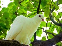 栖于在树枝的鸽子 免版税库存图片