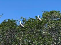 栖于在树的鹈鹕 库存图片
