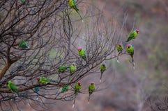 栖于的鹦鹉群  库存图片