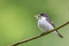 栖息与它的蜉蝣的膳食的公染色捕蝇器 免版税库存照片