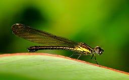 栖息和休息在一些叶子的小的蜻蜓照片 免版税库存图片