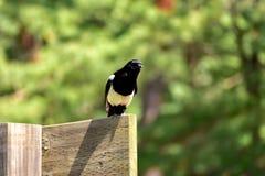 栖息在一个木板的韩国鹊 图库摄影