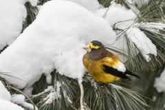 栖息在一个杉树分支的公晚上蜡嘴鸟在冬天 免版税库存图片