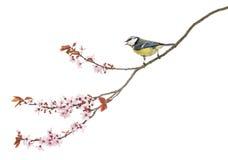 栖息在一个进展的分支的一只啾啾叫的蓝冠山雀的侧视图 免版税库存图片