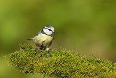 栖息在一本生苔日志的一只蓝冠山雀的特写镜头 库存图片