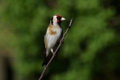 栖息在一根枝杈的金翅雀在庭院里 库存照片