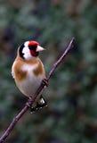 栖息在一根枝杈的金翅雀在庭院里 免版税库存图片