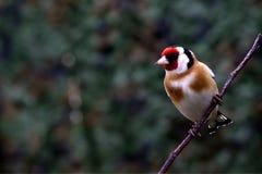 栖息在一根枝杈的金翅雀在庭院里 库存图片