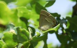 栖息在一片橡木叶子的惊人的紫色翅上有细纹的蝶蝴蝶Favonius栎属在森林地 图库摄影