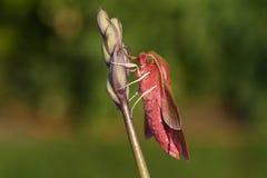 栖息在会开蓝色钟形花的草野花的一美丽的大象鹰飞蛾Deilephila elpenor 免版税库存照片