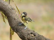栖息在分支的一只伟大的山雀 库存图片