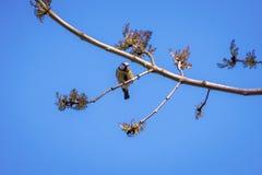 栖息在分支的蓝冠山雀 免版税库存照片