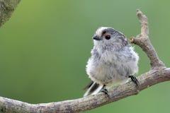 栖息在分支的长尾的山雀 免版税库存照片