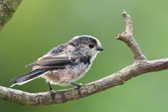 栖息在分支的长尾的山雀 库存图片