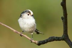 栖息在分支的长尾的山雀 免版税库存图片