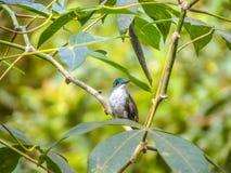 栖息在分支的绿色被加冠的精采蜂鸟 库存照片